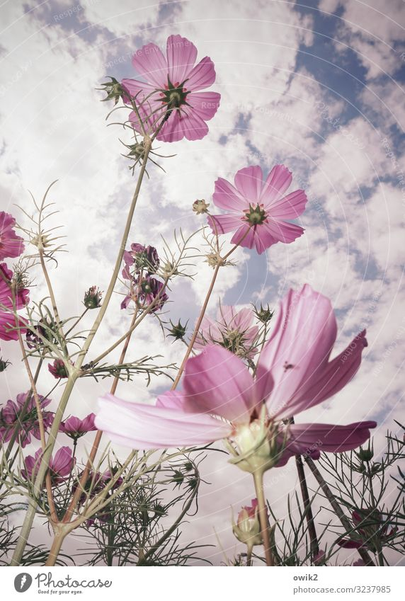 Relaxed Environment Nature Plant Air Sky Clouds Summer Beautiful weather Flower Blossom Wild plant Cosmos Garden Meadow Movement Blossoming To swing Growth