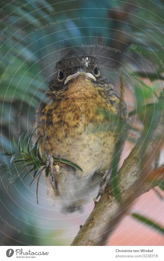 young robin sits in a yew tree and looks into the camera Environment Animal Wild animal Animal face Robin redbreast 1 Baby animal Looking Sit Exceptional Free