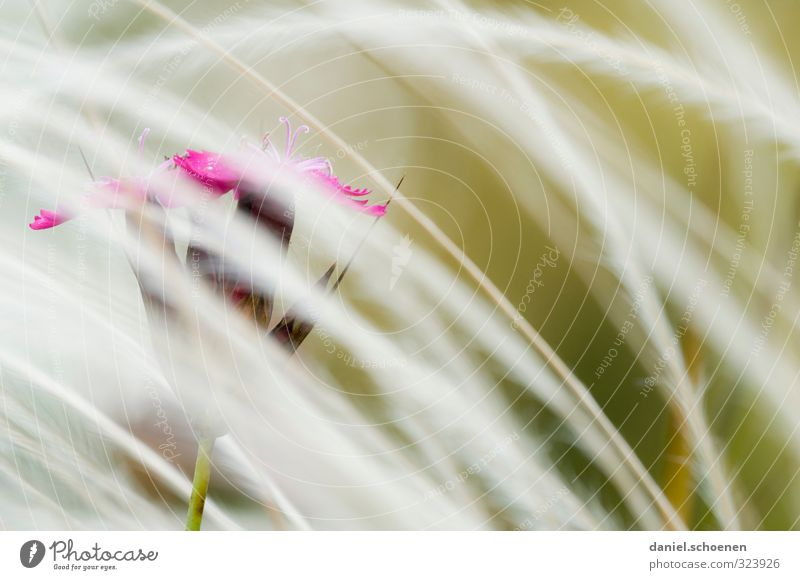 floral picture Nature Plant Flower Grass Blossom Bright Pink Red Macro (Extreme close-up) Copy Space right Shallow depth of field