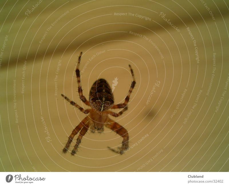 spider Spider Cross spider Macro (Extreme close-up) Transport Close-up macro shot