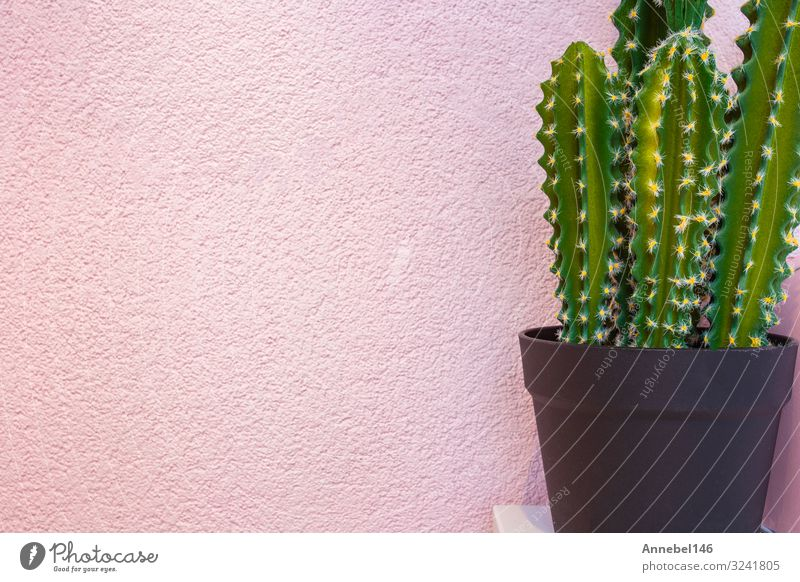 Green cactus on the background of bright pink wall. Pot Style Design Joy Summer Garden Decoration Art Nature Landscape Plant Flower Cactus Fashion Growth Fresh