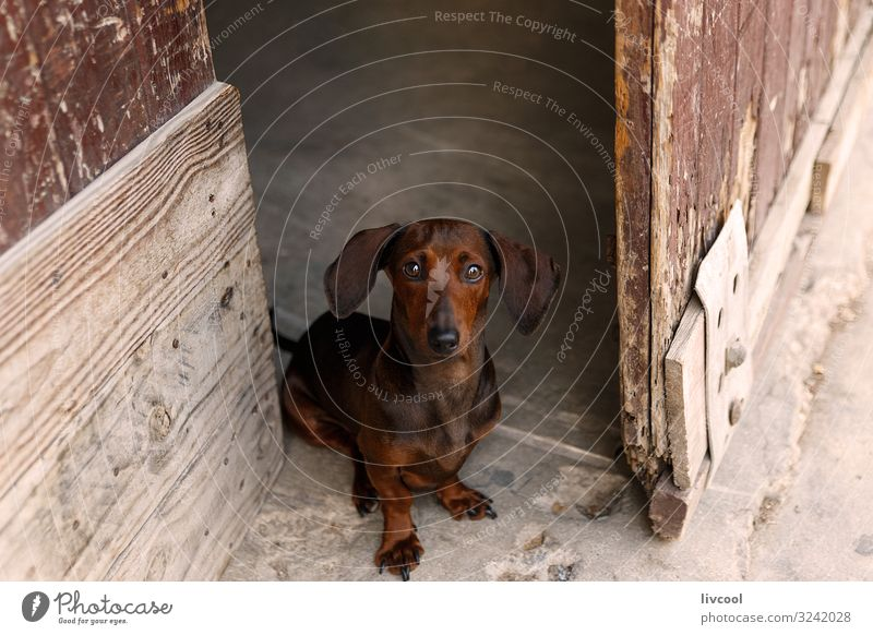 dachshund in a door , cuba Human being Dog Beautiful House (Residential Structure) Animal Street Love Funny Emotions Small Brown Friendship Fresh Authentic