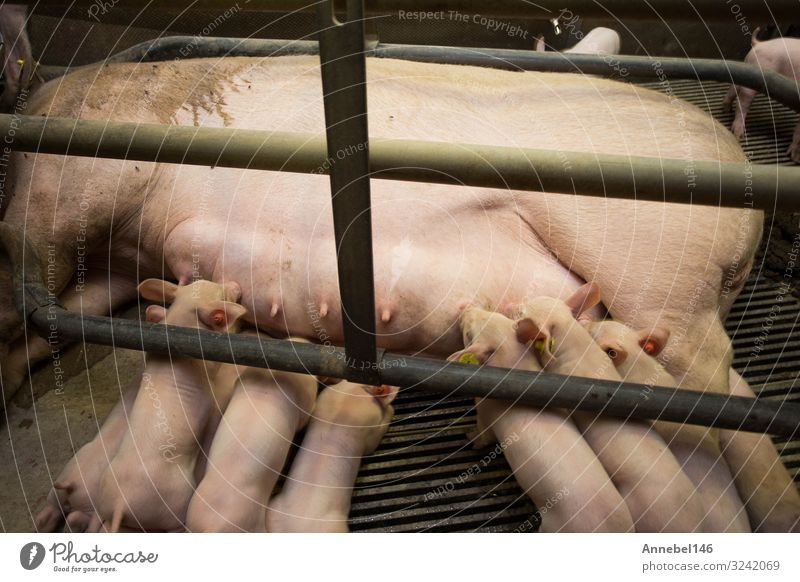 Mother pig locked in a cage with her piglets on a breeding farm Meat Factory Baby Adults Group Nature Animal Feeding Sleep Growth Dirty Cute Pregnant Pink Farm