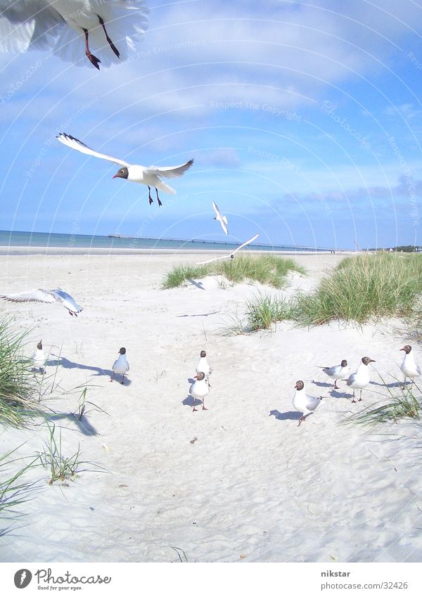 Sky Ocean Beach Sand Bird Flying Free Beach dune Baltic Sea Seagull