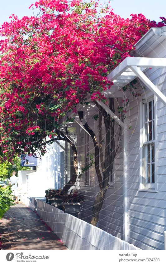 Key West Vacation & Travel Tourism Summer Summer vacation Plant Tree Flower Bushes Exotic bugan villa Florida American Flag Colour photo Exterior shot Day
