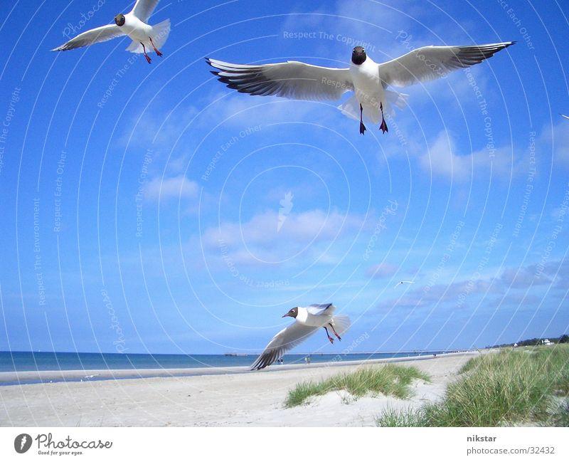 gulls Seagull Bird Beach Ocean Darss Flying Water Sky Baltic Sea