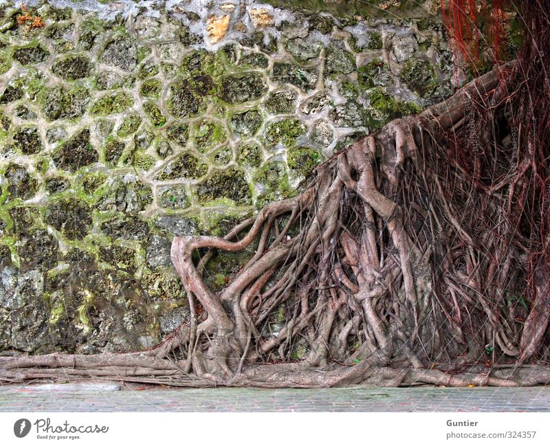 lack of space Nature Plant Elements Tree Wild plant Brown Yellow Green Red Root Old Overgrown Wall (building) Reticular Colour photo Multicoloured Exterior shot