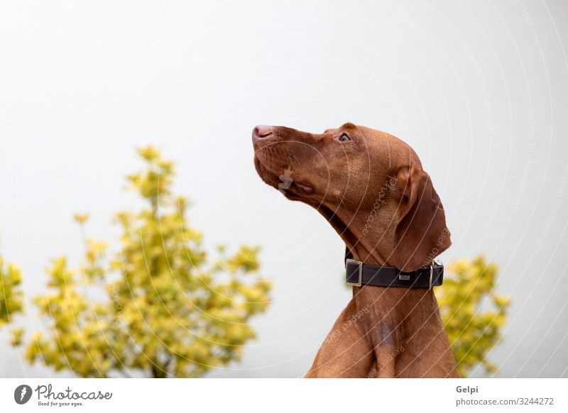 Hungarian shorthaired dog Garden Animal Fur coat Short-haired Pet Dog Exceptional Large Small Red White Pure many Breed vizsla Hunter Purebred pup head Mammal