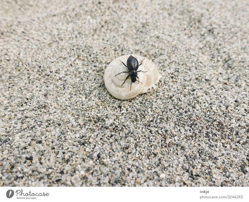 Corsicher black beetle Animal Sand Summer Sandy beach Beach Wild animal Beetle Snail Tenebrionid beetles Snail shell 2 Authentic Small Brown Black