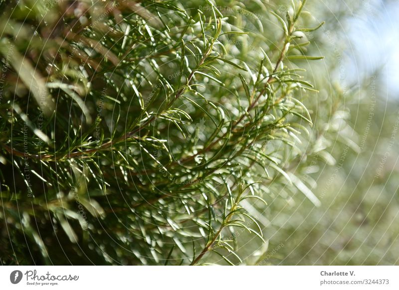 rosemary Food Herbs and spices Rosemary Nutrition Italian Food Environment Nature Plant Beautiful weather Agricultural crop Wild plant Fragrance Growth Esthetic
