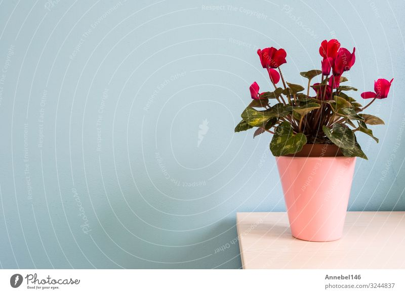 red flowers in pink flowerpot with blue wall. Pot Design Beautiful House (Residential Structure) Decoration Nature Plant Flower Leaf Blossom Bouquet Growth