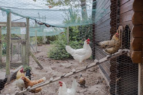 chicken coop in back yard in residential area House (Residential Structure) Woman Adults Nature Landscape Animal Village Bird Wood Old Free Natural Brown Red