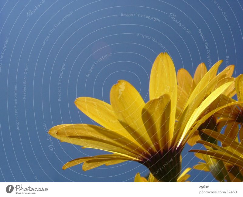 Sky Flower Blue Yellow