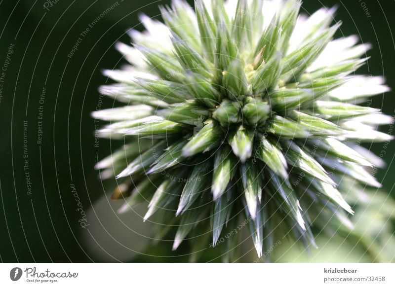 morning star Plant Flower Near Point Thorny Blue Star (Symbol) Colour photo Exterior shot Close-up Detail Macro (Extreme close-up) Abstract Copy Space left
