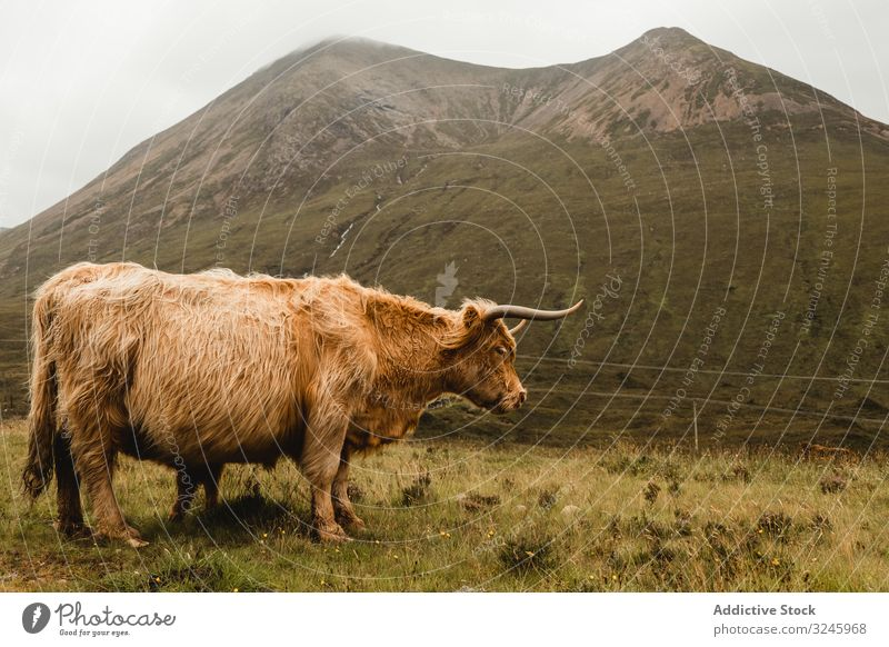 Highland cow grazing in green grassland at foot of mountain meadow highland cattle symbol animal scotland domestic bovine mammal pasture hill fluffy countryside