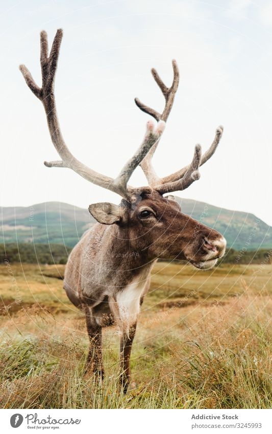 Beautiful deer on Scottish pasture stag field scotland highland mountain hill meadow grass cloudy landscape scottish highlands summer sky nature countryside