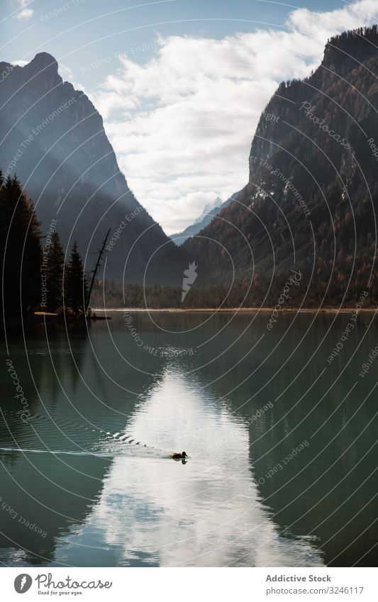 Black duck on lake in mountains bird valley dolomites water feathered black lone italy hill tyrol pond europe wildlife forest snag alps alpine solitude clear