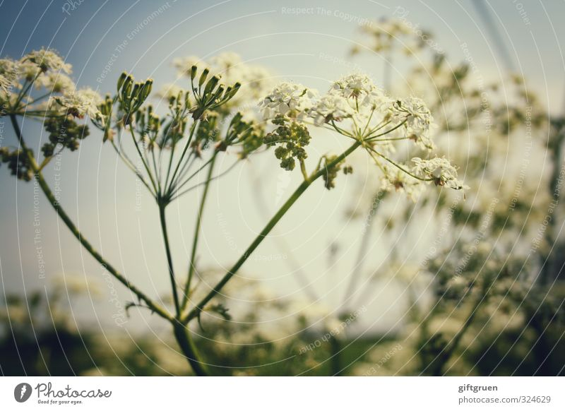 Sky Summer Plant Flower Meadow Warmth Blossom Growth Beautiful weather Blossoming Herbaceous plants Part of the plant Common Yarrow