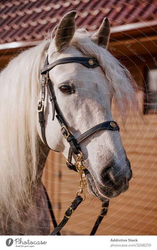 White horse in snaffle behind wooden fence pet stallion animal care nature mammal bridle farm saddle horseback pasture field gray countryside hippodrome equine