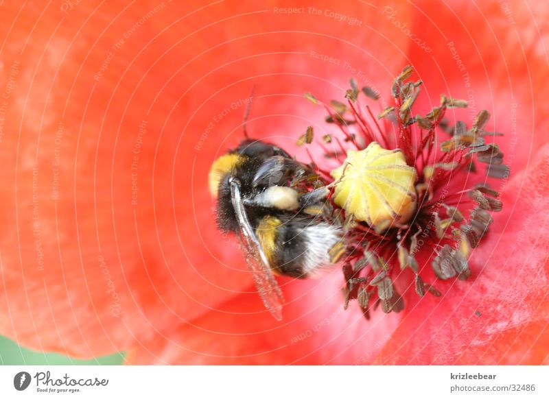 Flower Red Blossom Poppy Bumble bee Diligent Fertilization