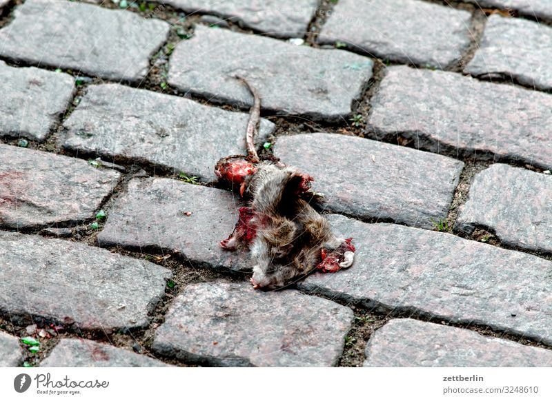 Animal Street Copy Space Death Transport Cobblestones Paving stone Rodent Road traffic Pests Rat