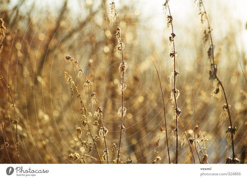 Sunny Grass Nature Plant Sunlight Winter Foliage plant Wild plant Meadow Illuminate Fresh Bright Thin Dry Yellow Gold Orange Colour wilting solar Sunbeam Blur