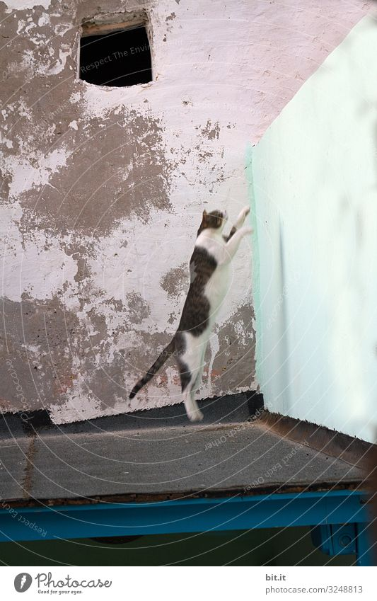 White mackerel, stray cat jumps bravely from a roof, high on a wall, in front of an old, broken wall, in the old town of Esscouira in Morocco during the dangerous hunt.
