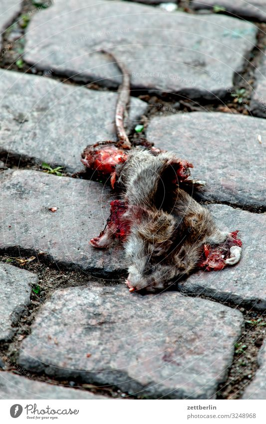 Dead Rat muroidea long-tailed mice Altwelt mice Animal Rodent Pests Death run sb./sth. over Transport Road traffic Street Paving stone Cobblestones Deserted