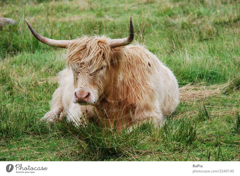 Highland cattle on a meadow. Food Meat Nutrition Lifestyle Leisure and hobbies Vacation & Travel Tourism Sightseeing Cruise Work and employment Workplace