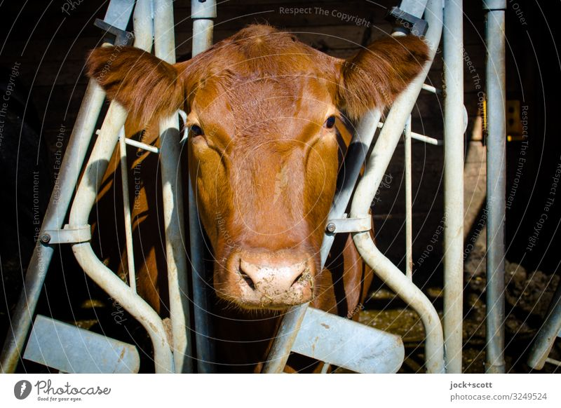 milking stanchion Agriculture Forestry Farm Cowshed Beautiful weather Franconia Farm animal Animal face 1 Grating Stripe Looking Stand Authentic Large Brown