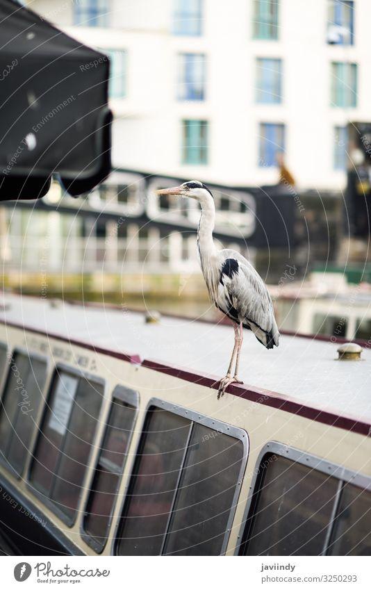 Heron or ardea cinerea in Little Venice, Camden town, London, UK Vacation & Travel Tourism Sightseeing Animal Autumn River Town Bridge Watercraft Bird Small