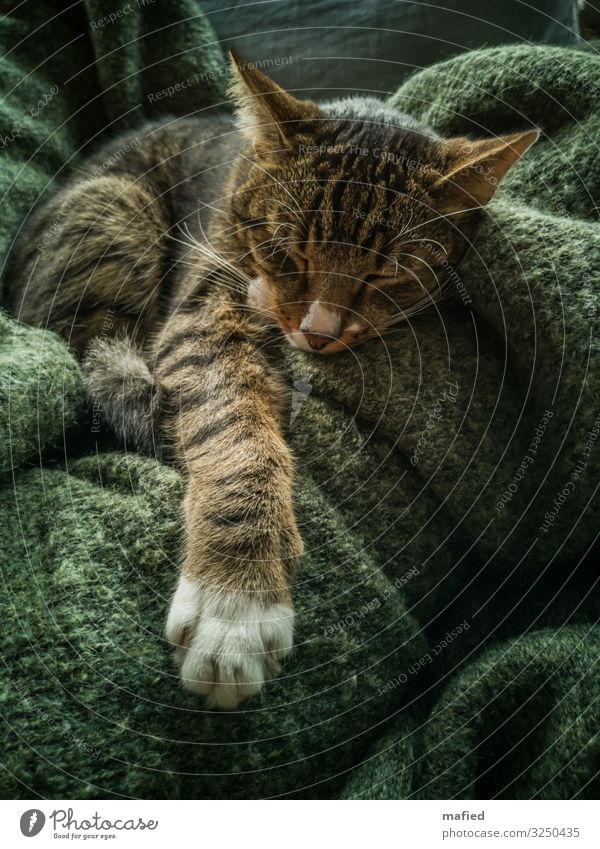 Cat Green Relaxation Animal Calm Brown Gray Contentment Lie To enjoy Sleep Pet Trust Pelt Safety (feeling of) Paw