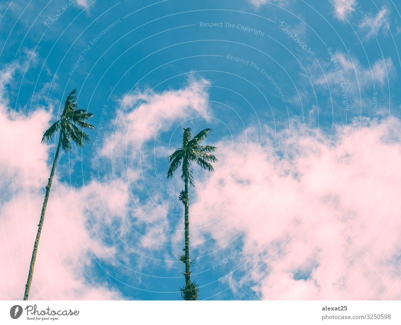 Palm trees background with copy space Exotic Beautiful Vacation & Travel Tourism Summer Sun Beach Ocean Island Nature Landscape Plant Sky Tree Blue Pink