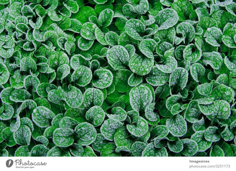 "lamb's lettuce Food Organic produce Lamb's lettuce Background picture Garden plants Ice Frost Snow Plant Fresh Healthy Green Colour To enjoy ""Leaves"