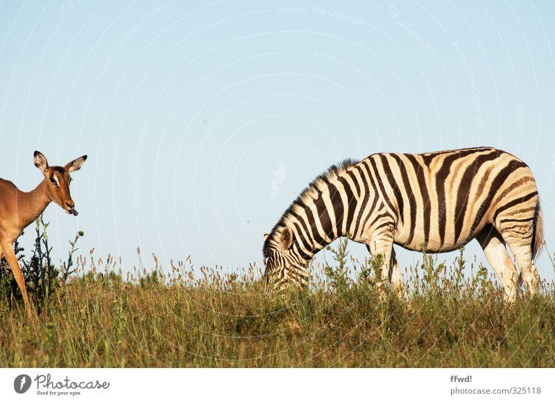 safari Vacation & Travel Trip Far-off places Safari South Africa National Park Nature Grass Wild animal Zebra Antelope 2 Animal To feed Colour photo