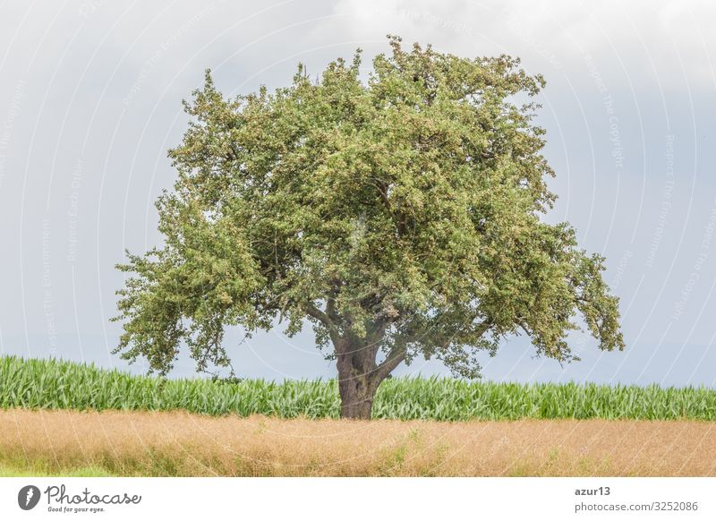 Large single tree in warm summer nature with juicy leaves Beverage Life Summer Nature Warmth Idyll climate change season silence solitude seasonal time year