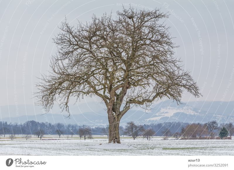 Large single tree in winter snow nature with naked branches Beverage Life Winter Nature Idyll climate change season silence solitude seasonal time year weather