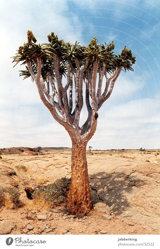 Tree Africa Desert Namibia Kokerboom tree