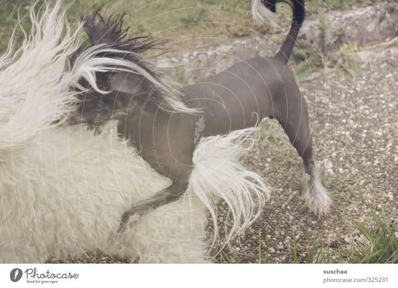 black/white on grey Animal Pet Dog 2 Catch Playing Romp Retro Love of animals Aggression Bite Pelt Paw Hair and hairstyles Subdued colour Exterior shot