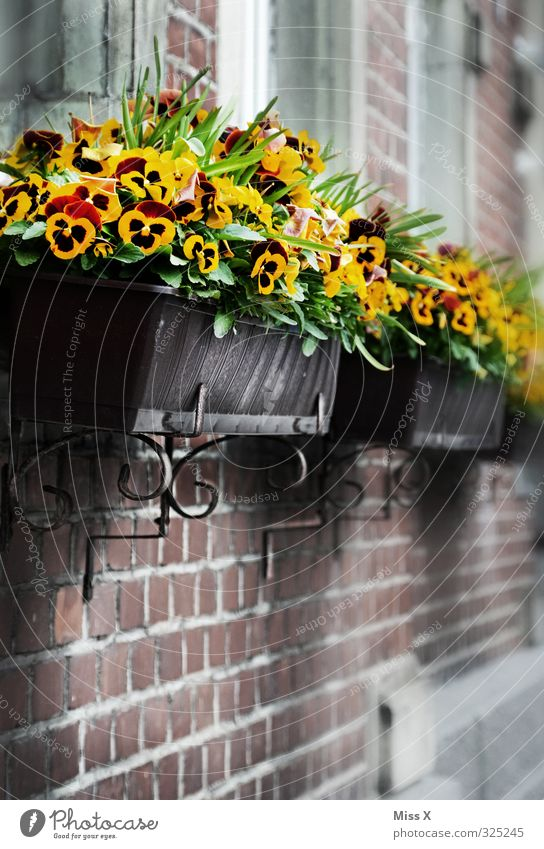 pansies Living or residing Flat (apartment) Decoration Flower Blossom Pot plant Facade Blossoming Yellow Pansy Window box Balcony plant Window board