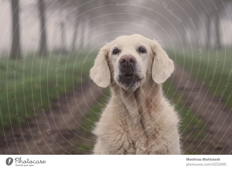 Ho, ho, ho! Animal Winter Weather Fog Field Lanes & trails Pet Dog Golden Retriever 1 Observe Communicate Sit Happy Beautiful Cuddly Natural Cute Gray Green