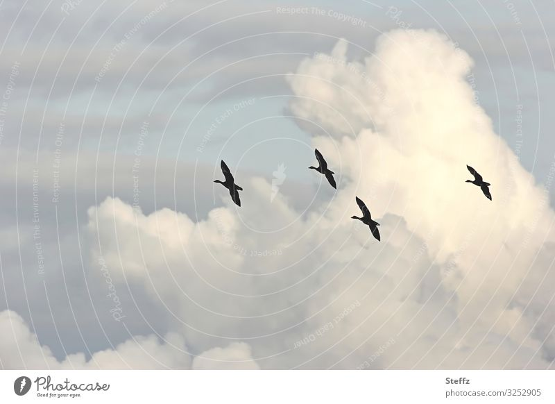 formation flight Environment Nature Sky Sky only Clouds Autumn Beautiful weather Germany Europe Bird Wild goose Wild bird Flying Free Tall Natural Blue Black
