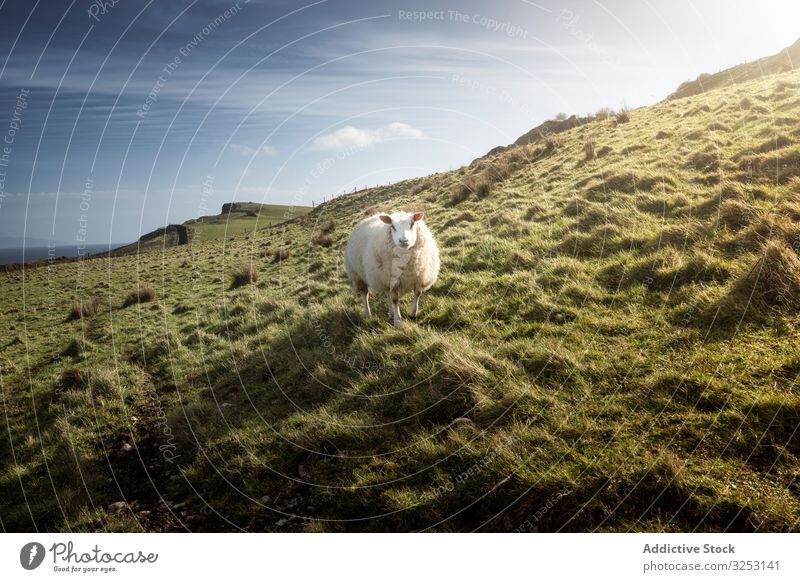 White sheep on green spring field white grass hill northern ireland graze nature cattle livestock pasture meadow rural agriculture farm mammal animal fauna wool