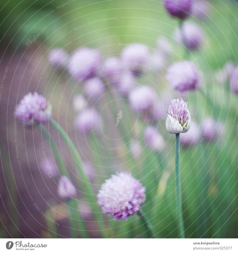 ...leeks too. Environment Nature Plant Blossom Agricultural crop Leek Chives Garden Blossoming Fresh Natural Green Violet Delicate Pastel tone Colour photo