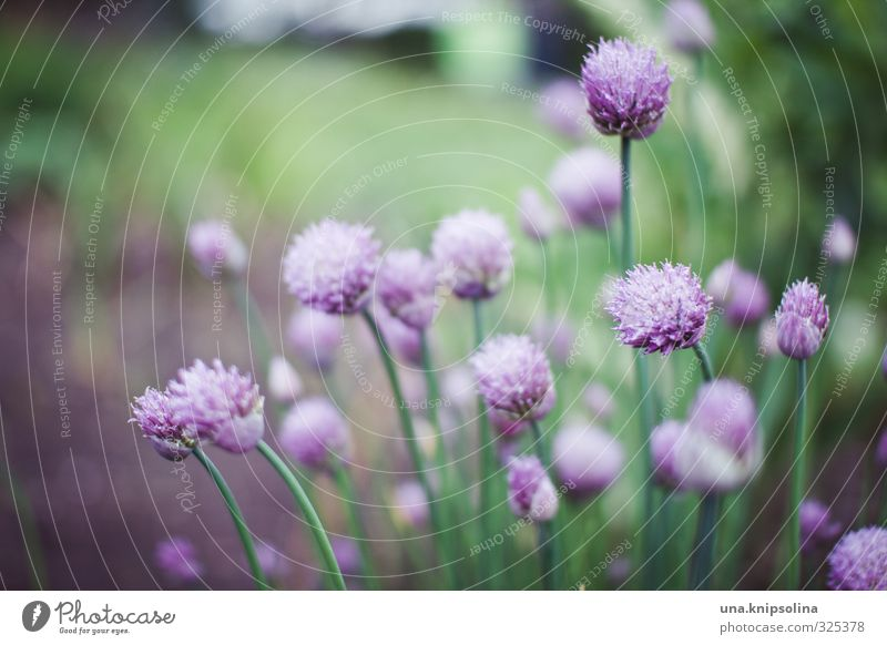 cut tubes Herbs and spices Plant Blossom Garden Fresh Healthy Delicious Natural Wild Green Violet Colour photo Exterior shot Close-up Detail Deserted