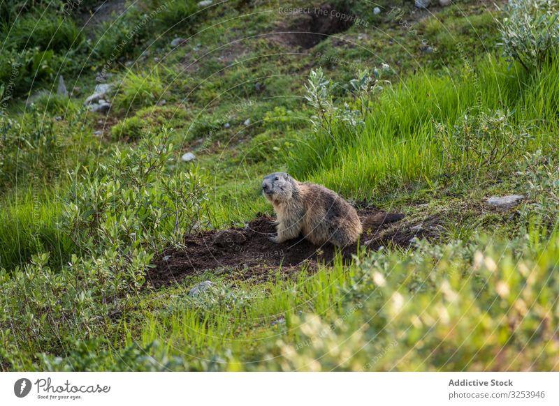 Cute marmot sitting on meadow in Switzerland wild animal burrow ground mountain rodent nature fur mammal curious alert green field dig switzerland fauna summer
