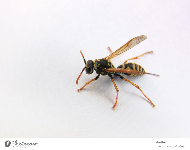 Flying Thin Insect Bee Crawl Spine Pierce Wasps