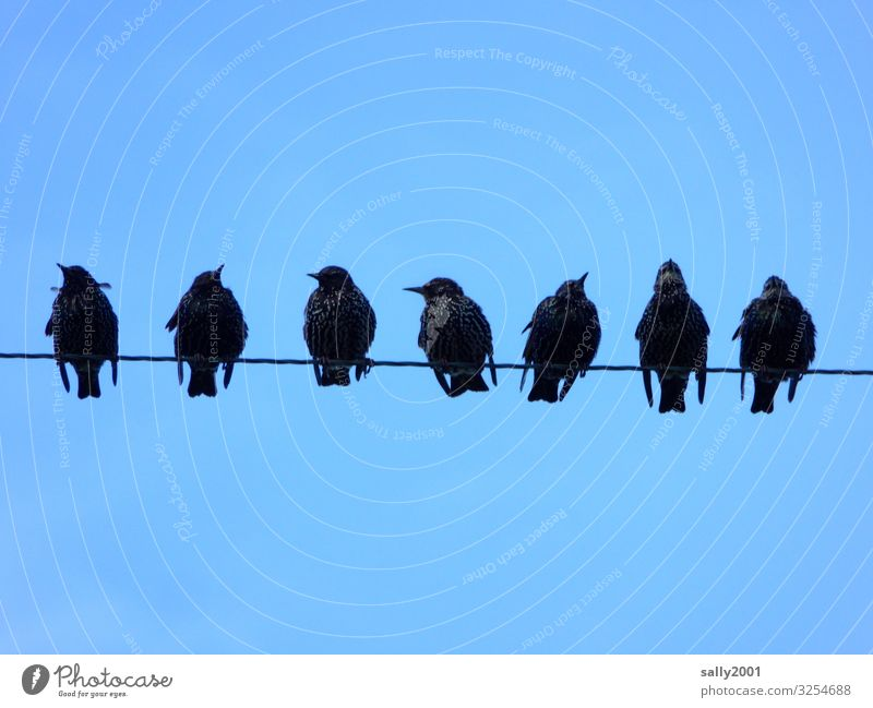 Star meeting... Starling birds songbird group Sit gather sb. Transmission lines Wire power line communication Sky tweet Sing gap Side by side Black
