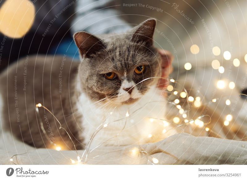 British breed cat on a bed in Christmas fairy lights Cat Christmas & Advent Animal Eyes Cute Soft Pet Mammal Delightful Cozy Kitten Domestic Fur coat Fluffy