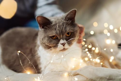 British breed cat on a bed in Christmas fairy lights Close-up hygge Cozy Blur Light Christmas & Advent Tabby cat Soft Fluffy Mammal Eyes Cat Fur coat
